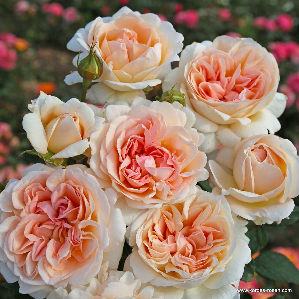 Róża Großherzogin Luise®