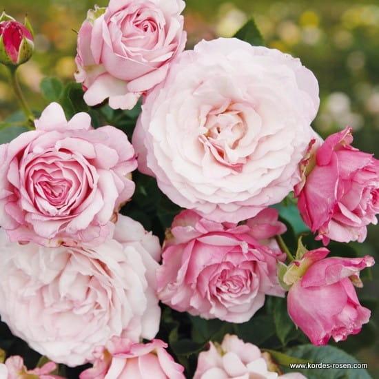 Róża Rosenfaszination®