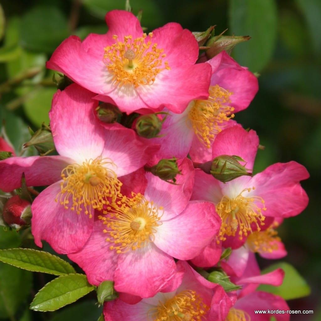 Róża Juanita®