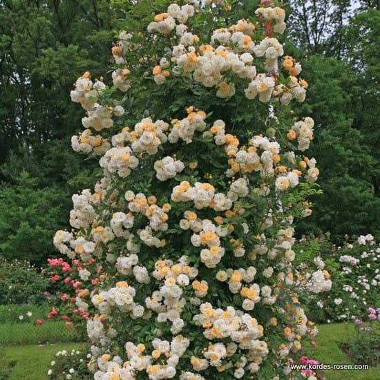 Róża Ghislaine de Feligonde