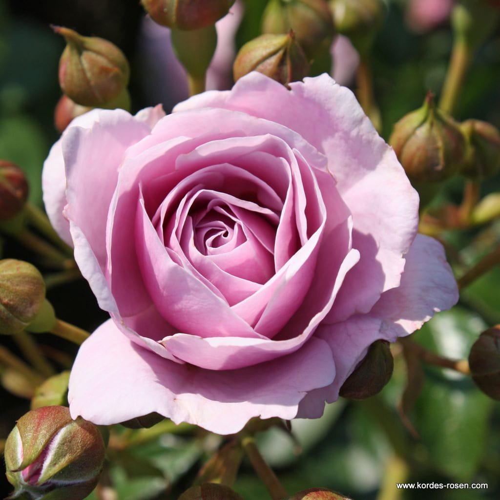 Róża Nautica®