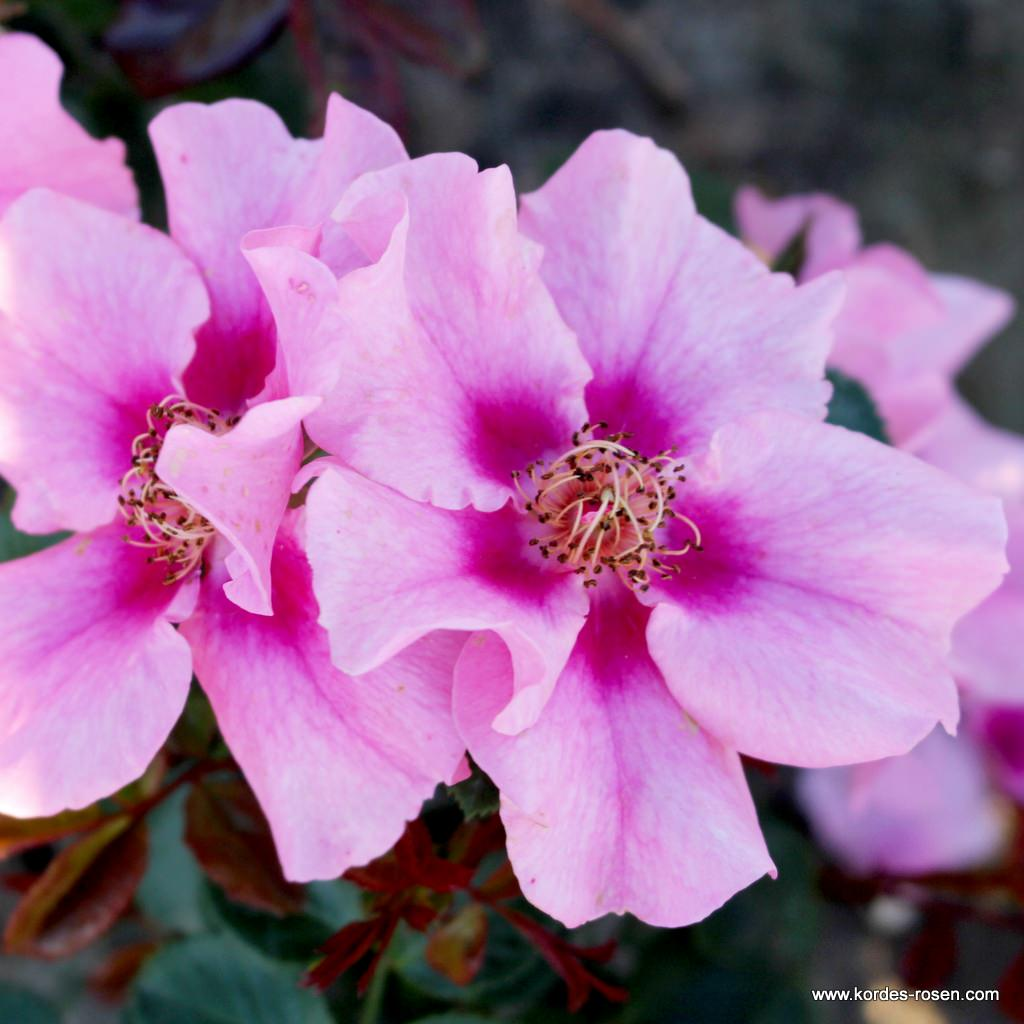 Róża See You in Pink®