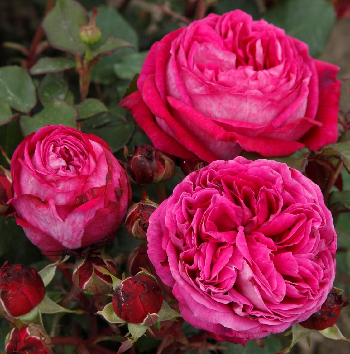 Róża Freifrau Caroline® (Baronowa Karolina)