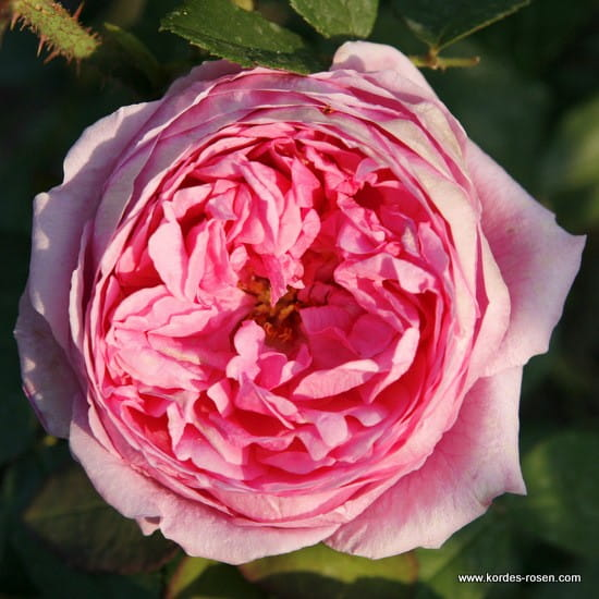 Róża Madame Boll