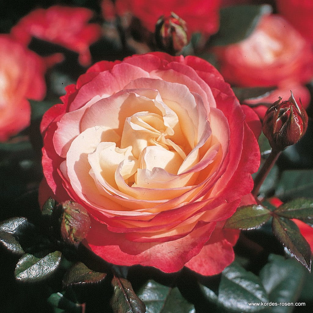 Róża Nostalgie® na pniu