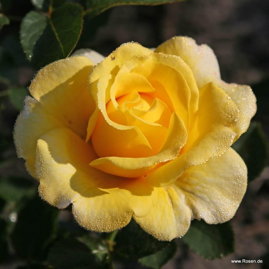 Róża rabatowa Sunmaid®