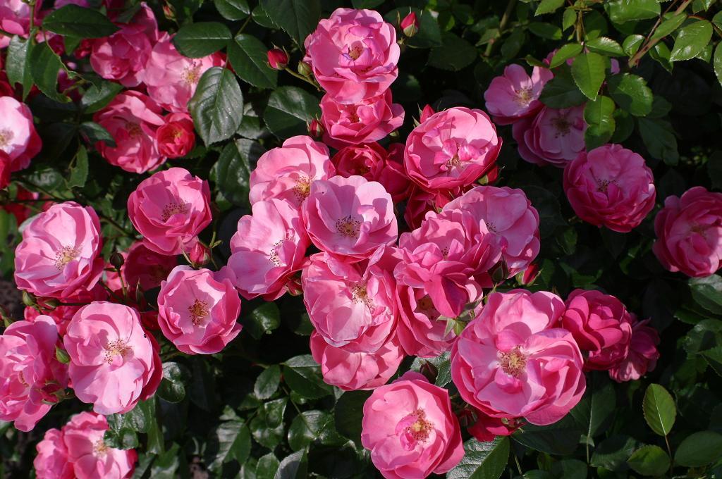 Róża Angela®