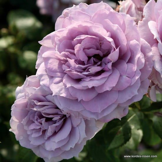 Róża Novalis®