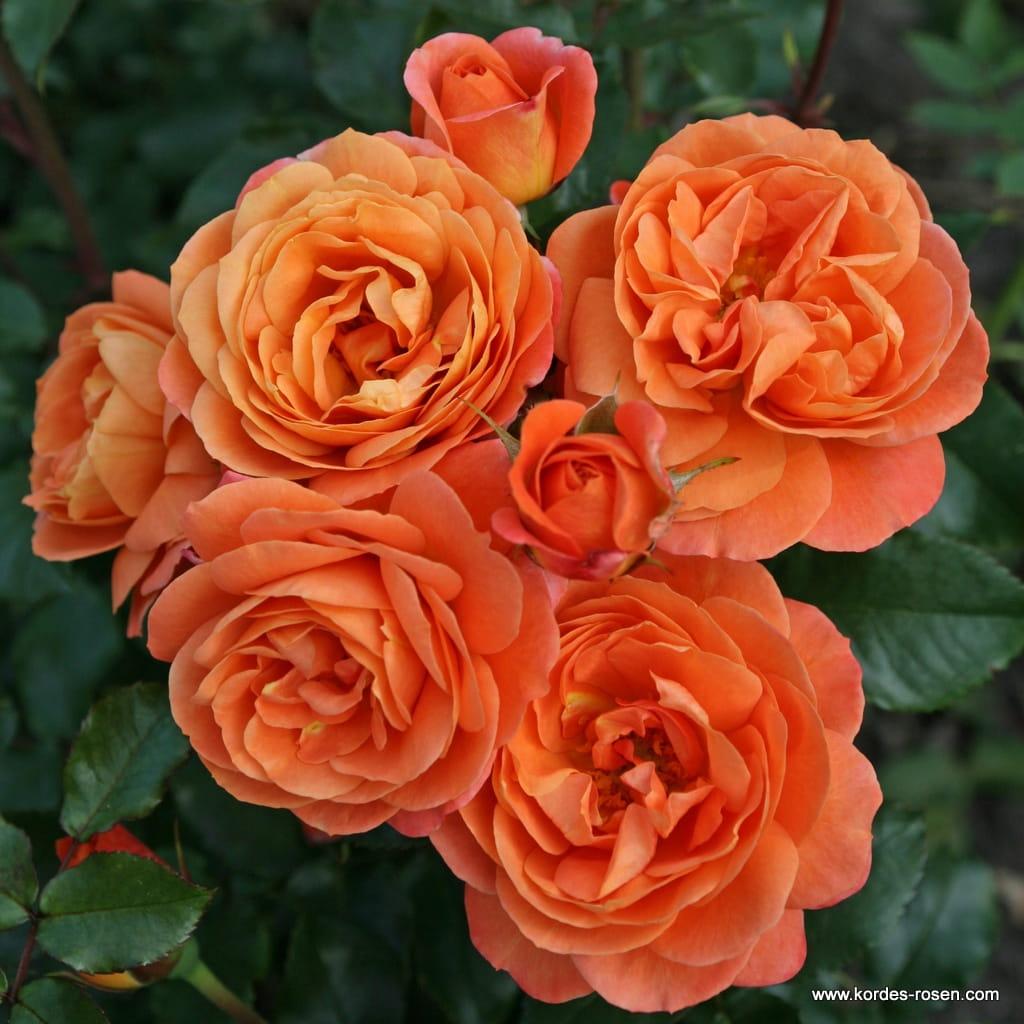 Róża Phoenix®