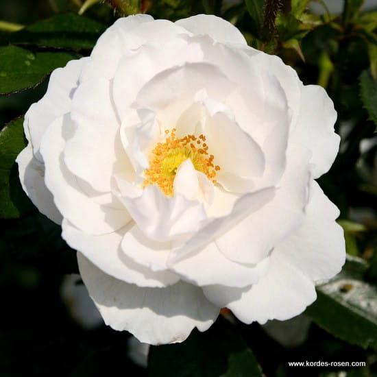 Róża Hella®